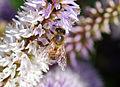 Bee (2634617358).jpg