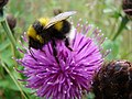 Bee on a thistle - geograph.org.uk - 1111689.jpg