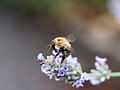 Bee on flower (9519722376).jpg