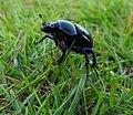 Beetle (20261200154).jpg