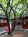 Beijing Lu Xun Museum - tree 1 planted by Lu Xun.jpg