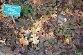 Berberis repens (Mahonia repens) - Regional Parks Botanic Garden, Berkeley, CA - DSC04297.JPG