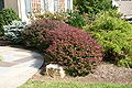 Berberis thunbergii purple hedge.JPG