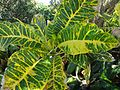 Bermuda (UK) image number 249 big-leafed plant.jpg