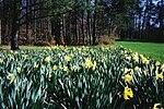 Bernheim Daffodils.jpg