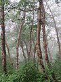 Betula utilis - Bhoj Patra Tree on way from Gangria to Valley of Flowers National Park - during LGFC - VOF 2019 (3).jpg