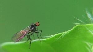 File:Bicellaria sp - 2012-05-19.ogv