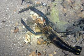 Big-claw river shrimp (Macrobrachium carcinus) (3683751926).jpg
