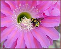 Big Bee And Bigger Flower (226703113).jpeg