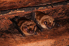 Two big brown bats sit next to one another in the rafters of a barn.