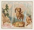 Bighorn, from Quadrupeds series (N41) for Allen & Ginter Cigarettes MET DP839195.jpg