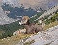Bighorn Sheep Wilcox Pass.jpg