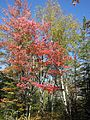 Birch and moose maple (6166338055).jpg
