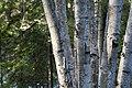 Birches (2570431641).jpg