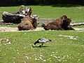 Bison-bison-athabascae-2.jpg