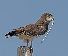 240px black chested snake eagle (circaetus pectoralis)