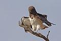 Black-chested snake eagle (Circaetus pectoralis) at Pilanesberg National Park, South Africa. (29993450507).jpg