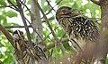 Black-crowned Night-Heron young (48432233987).jpg