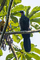 Black-fronted Piping-Guan - Intervales NP - Brazil S4E0670 (12811077304).jpg