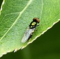 Black-horned Gem . Microchrysa polita (35050593963).jpg