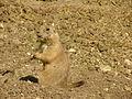 Black-tailed Prairie Dog 01.jpg