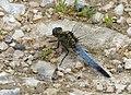 Black-tailed Skimmer male Orthetrum cancellatum (31458274355).jpg