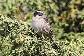Black-throated Accentor (Prunella atrogularis) (8079420223).jpg