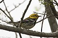 Black-throated Green Warbler ( ?? first winter male ) Mission TX 2018-03-01 08-19-46 (39728239685).jpg