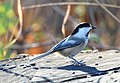 Black Capped Chickadee (183014757).jpeg