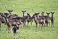 Black Fallow Deer in Levens Park - geograph.org.uk - 1201477.jpg