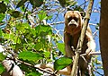 Black Howler Monkey (Alouatta caraya) female (31432114641).jpg