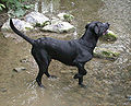 Black Labrador Retriever water.jpg