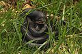 Black Rat Snake - Elaphe obsoleta, Glendening Tract, Jug Bay Sanctuary, Lothian, Maryland.jpg