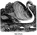 Black and white swan drawing.jpg