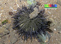Black sea urchin (Temnopleurus toreumaticus).jpg