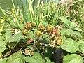 Blackberries on bushes 3 2016-06-29.jpg