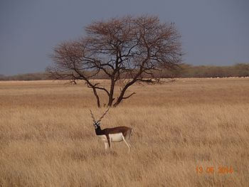 Blackcuck, The Indian Antelope, at the Velavadar Blacbuck National Park.jpg
