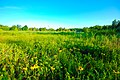 Blackeyed Susan Rudbeckia hirta calciferous meadow Peninsula State Park Wisconsin.jpg
