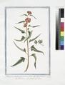 Blattaria Anglicana perennis, flore obsolete phoeniceo - Blattaria - Herb aux mites. (Moth mullein) (NYPL b14444147-1125085).tiff