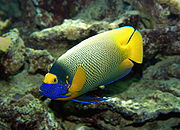Blaukopf-Kaiserfisch (Pomacanthus xantometopon) 01
