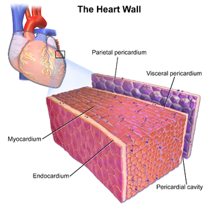 Endocardium - Illustration depicting the layers of the heart wall including the innermost endocardium