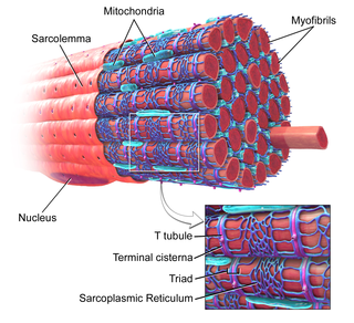 Myofibril The contractile element of skeletal and cardiac muscle; a long, highly organized bundle of actin, myosin, and other proteins that contracts by a sliding filament mechanism.