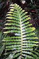 Blechnum cartilagineum Chatswood West.jpg