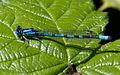 Blue Damselfly 1q (5915762176).jpg