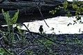 Blue Jay (Cyanocitta cristata) - Guelph-Eramosa, Ontario 2020-05-20.jpg