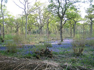 Finemere Wood - Bluebells in Finemere Wood