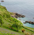 Bluebells above the cliffs near Start Point - May 2015 - panoramio.jpg