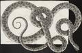 Boa cenchris - 1734-1765 - Print - Iconographia Zoologica - Special Collections University of Amsterdam - UBA01 IZ11900089.tif
