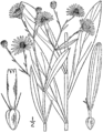 Boltonia asteroides drawing-1.png