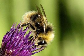 Description de l'image Bombus.jonellus.-.lindsey.jpg.